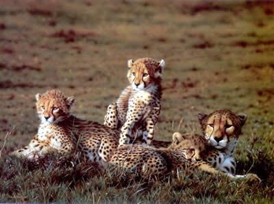 cheetahs-1245