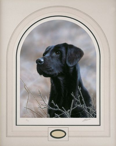 Classic Breed Black Labrador