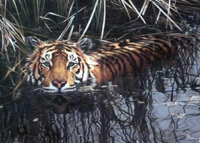 cooling-off-tiger-1246