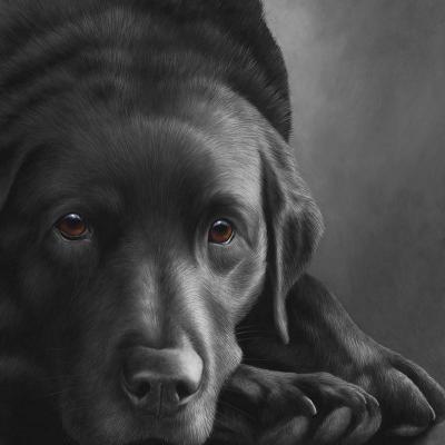Dog Tired Black Labrador