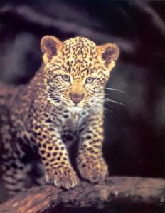 first-adventure-leopard-cub-1247