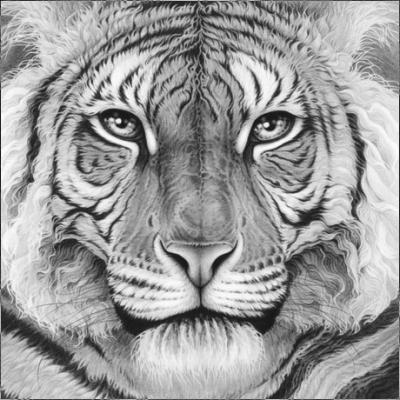 majesty-royal-bengal-tiger-12399
