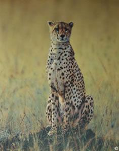 morning-dew-cheetah-1248
