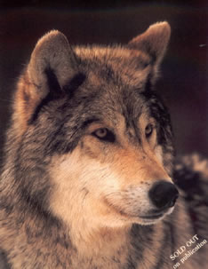 study-of-a-grey-wolf-1199