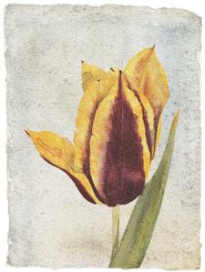 tulip-i-2593