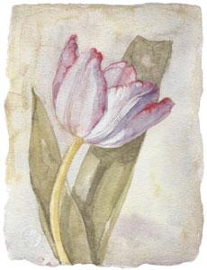 tulip-ii-2591