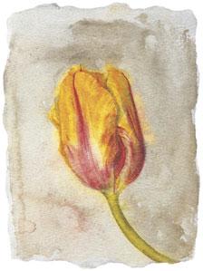 tulip-iv-2589