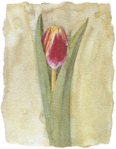 tulip-v-2588