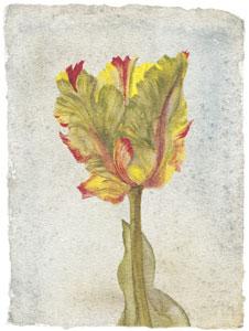 tulip-vi-2587