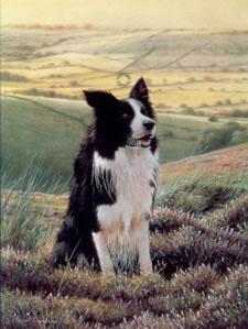 watchful-eye-border-collie-1230