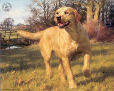 yellow-labrador-3725