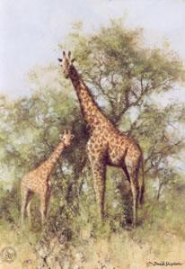 Masai Giraffe and Young by David Shepherd