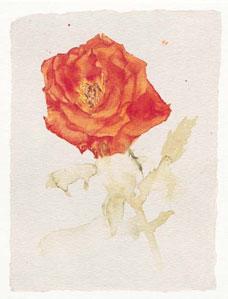 orange-rose-2581